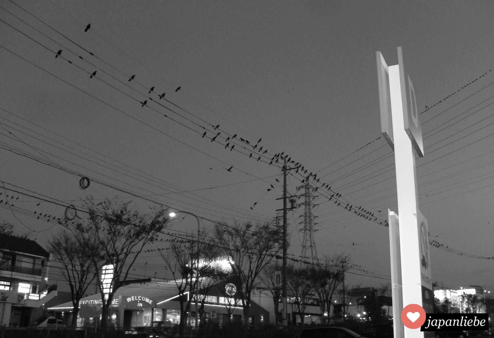 Eine Schar Krähen sammelt sich am Parkplatz von Okazakis Aeon Mall.