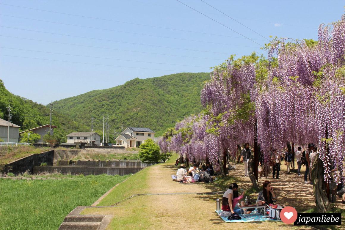 Picknick unter Blauregen im Fuji Park in Wake, Nahe Okayma