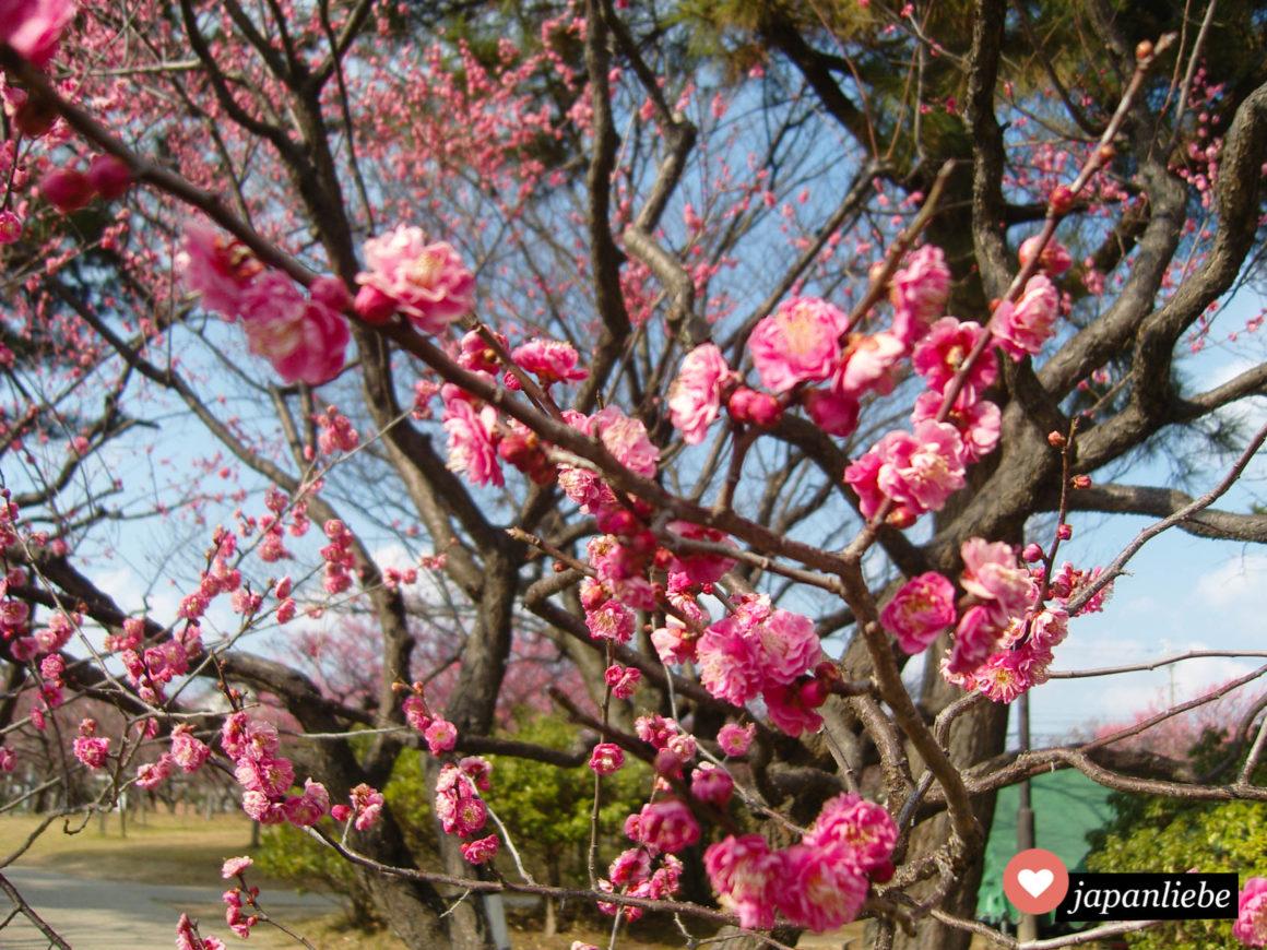 Bereits im Februar blühen in Japan die Pflaumenbäume, die fast genau so schön sind wie die Kirschblüte später im Jahr.