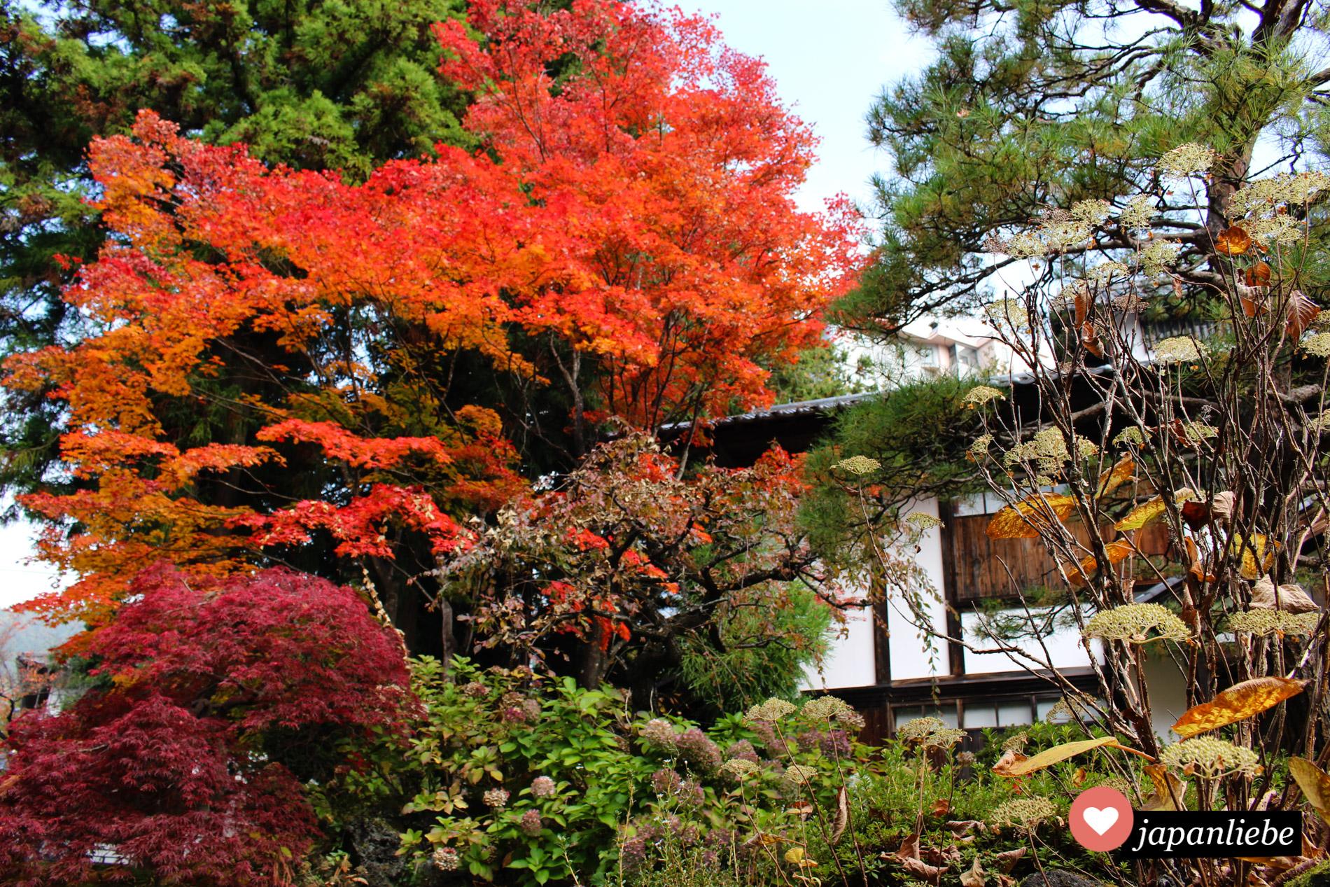 """Wunderschön gefärbter japanischer Ahorn """"Momiji"""" auf dem Weg zum Jigokudani Snow Monkey Park."""