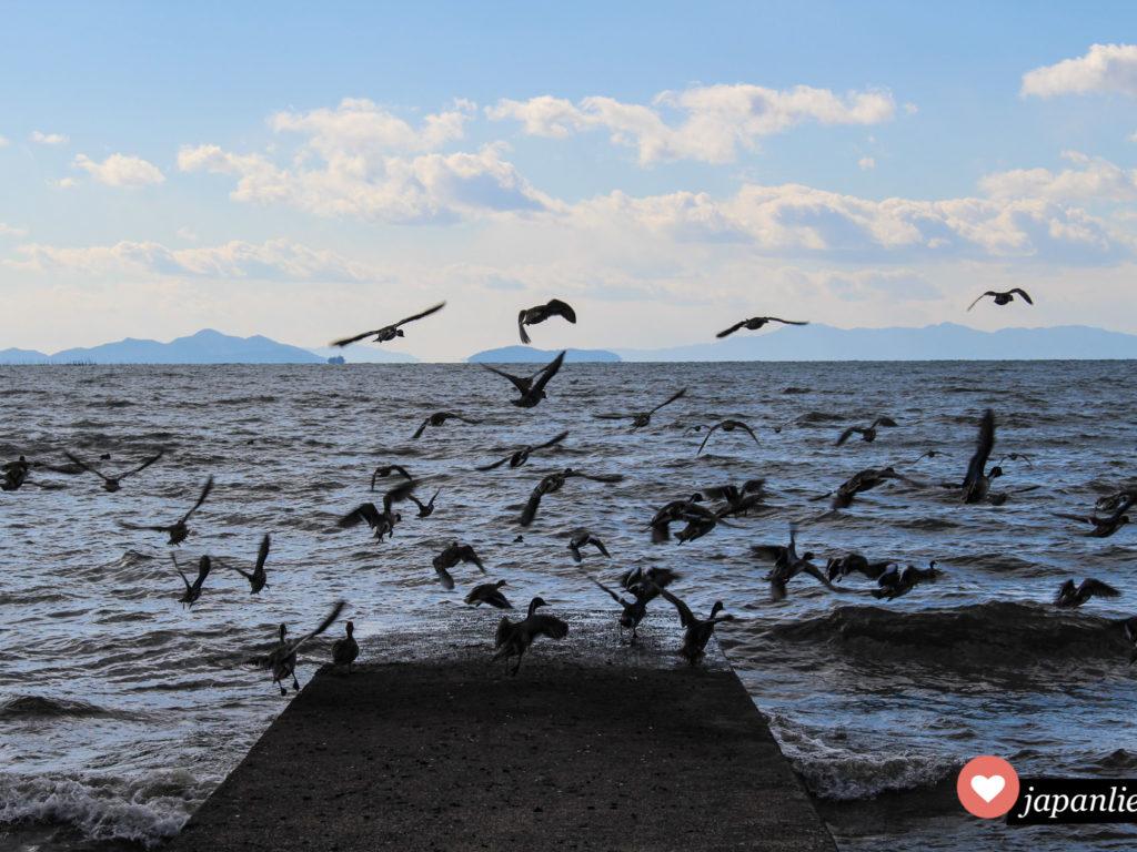 Aufgeregte Möwen am Ufer des Biwa Sees.