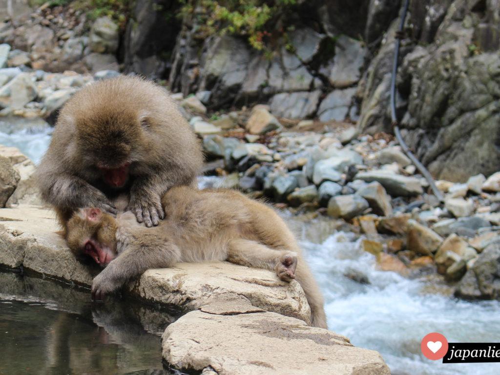 Die Affen im Jigokudani Snow Monkey Park lausen sich genüsslich an den heißen Quellen.