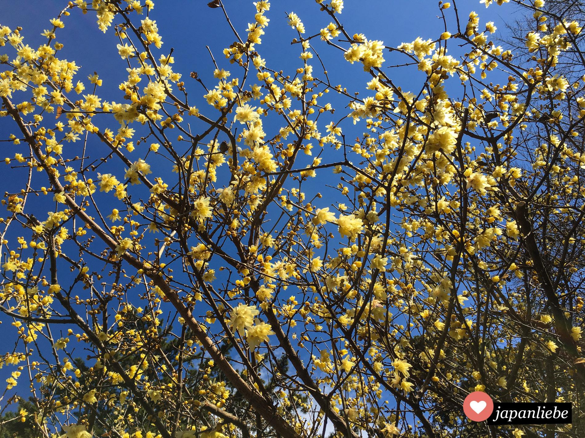 Pflaumenblüten gibt es in mehreren Farben: klassisch rosa oder wie hier gelb.