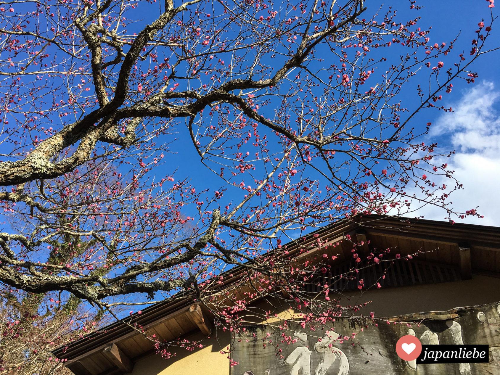 Rosa Pflaumenblüten läuten den Frühling in Japan ein.