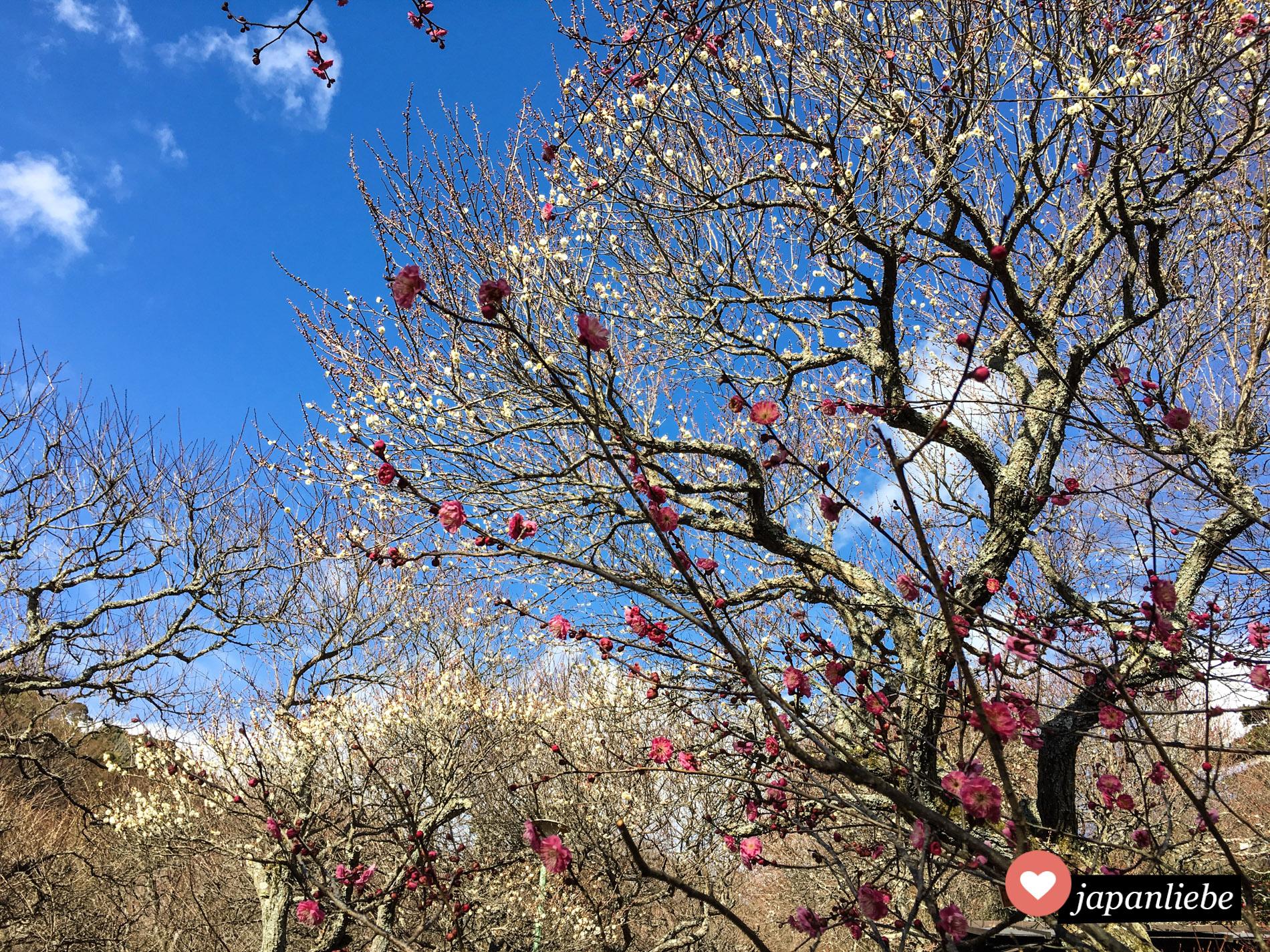 In Atami kann man die Pflaumenblüte besonders früh und schön mit gelben und rosafarbenen Blüten genießen.