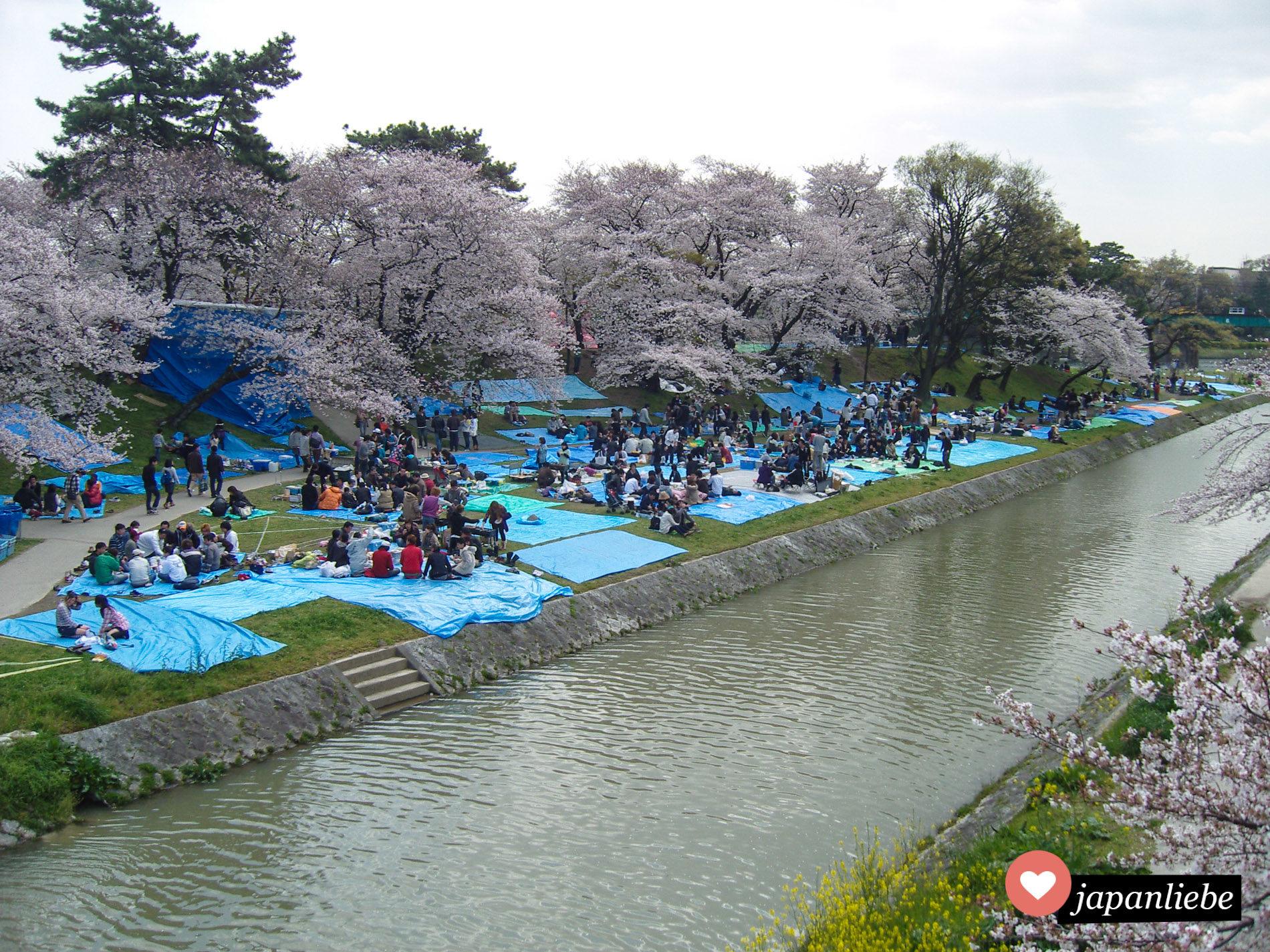 Egal wie hübsch die Kirschblüte ist, Hanami geht nicht ohne häßliche, blaue Plastikplanen.