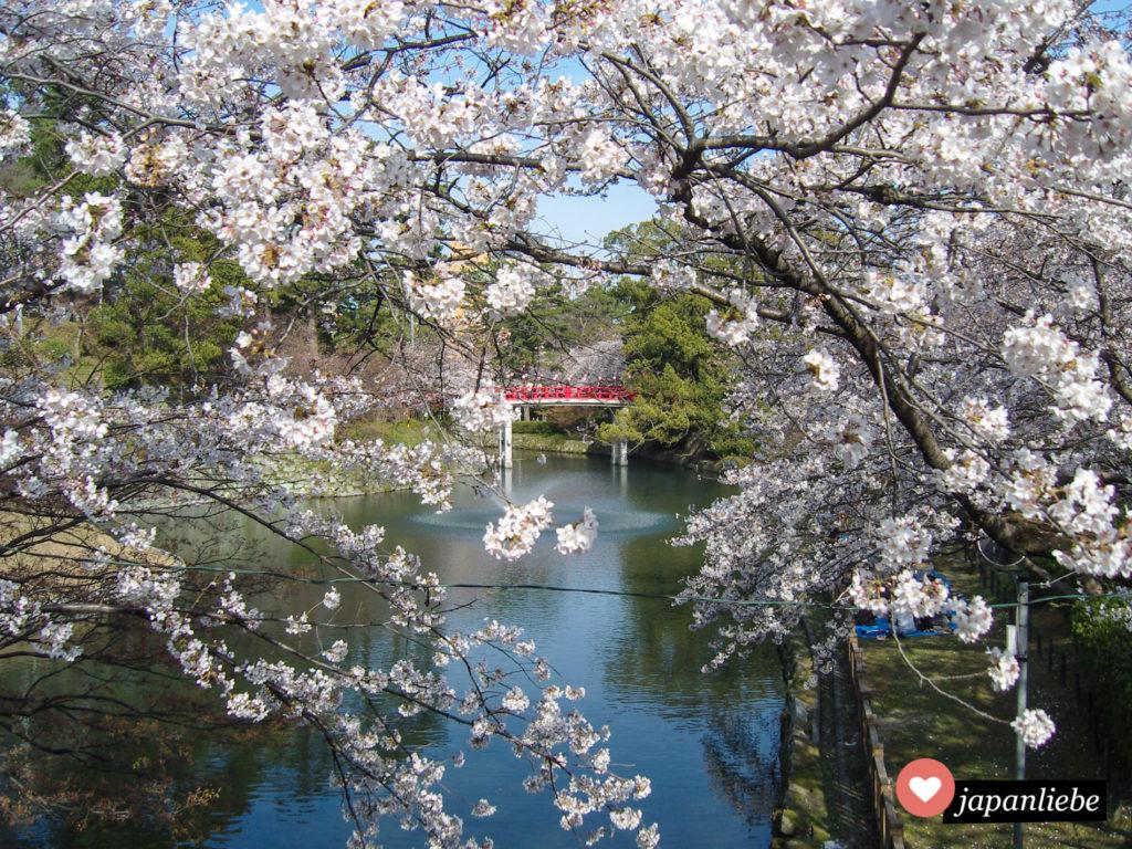 Die Kirschblüte im Park der Burg Okazaki