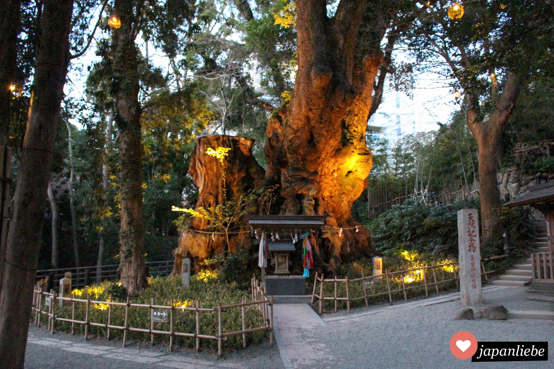 Der Kinomiya Schrein in Atami ist bekannt für eine über 2000 Jahre alte Zeder.