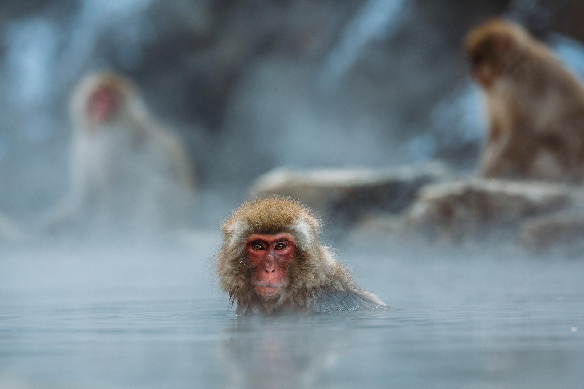 Die berühmten im Onsen badenden Affen im Jigokudani Snow Monkey Park.