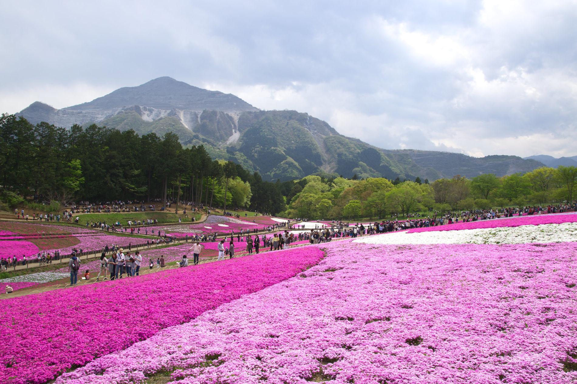 Das Shibazakura Festival im Hitsujiyama Park in Chichibu findet jedes Jahr im April statt und taucht alles in Pink. (Foto: Raita Futo auf Flickr https://www.flickr.com/photos/raita/34838033043)