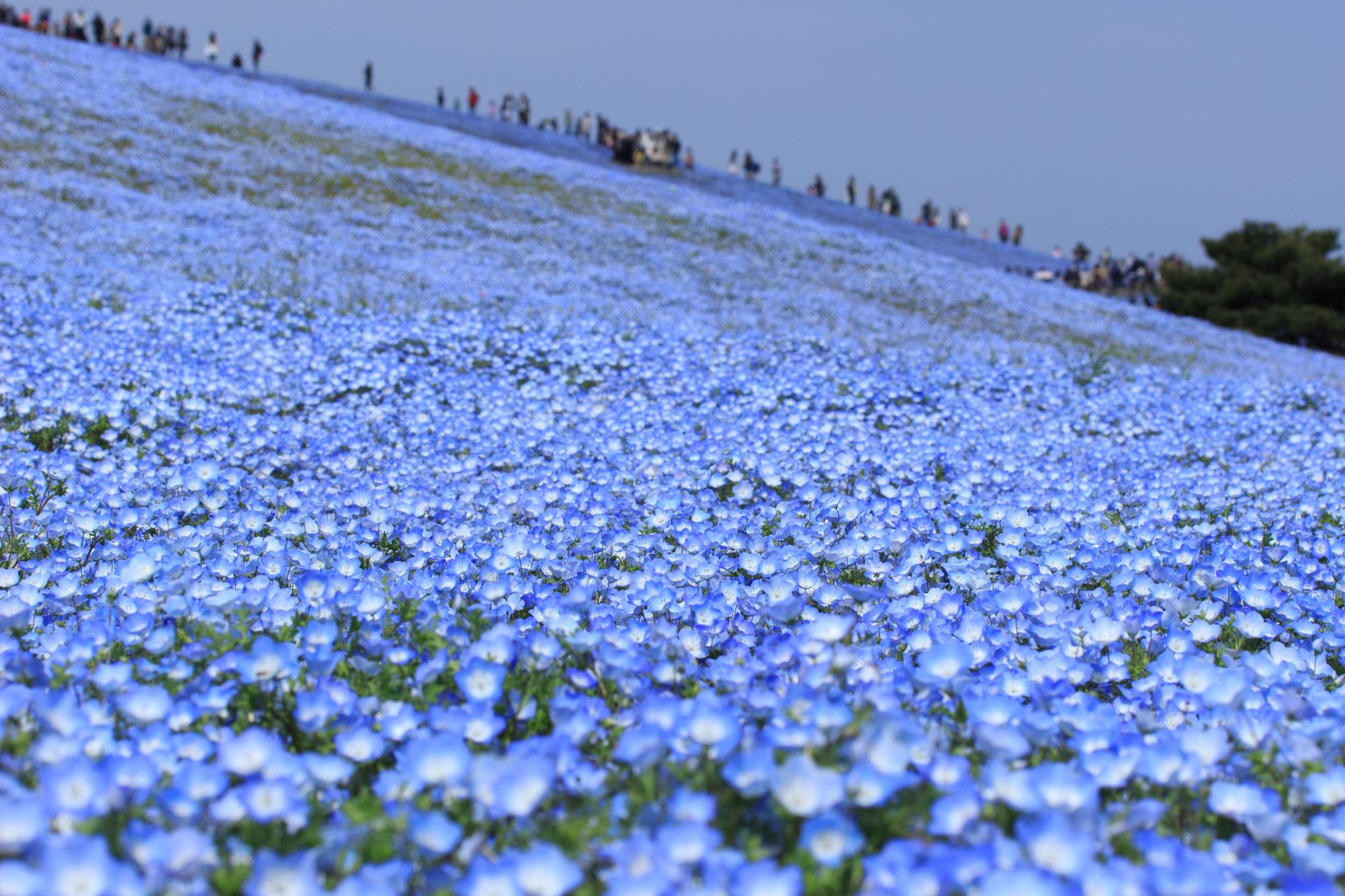 Blaue Hainblumen bewachsen ganze Flächen im Hitachi Seaside Park in Ibaraki.
