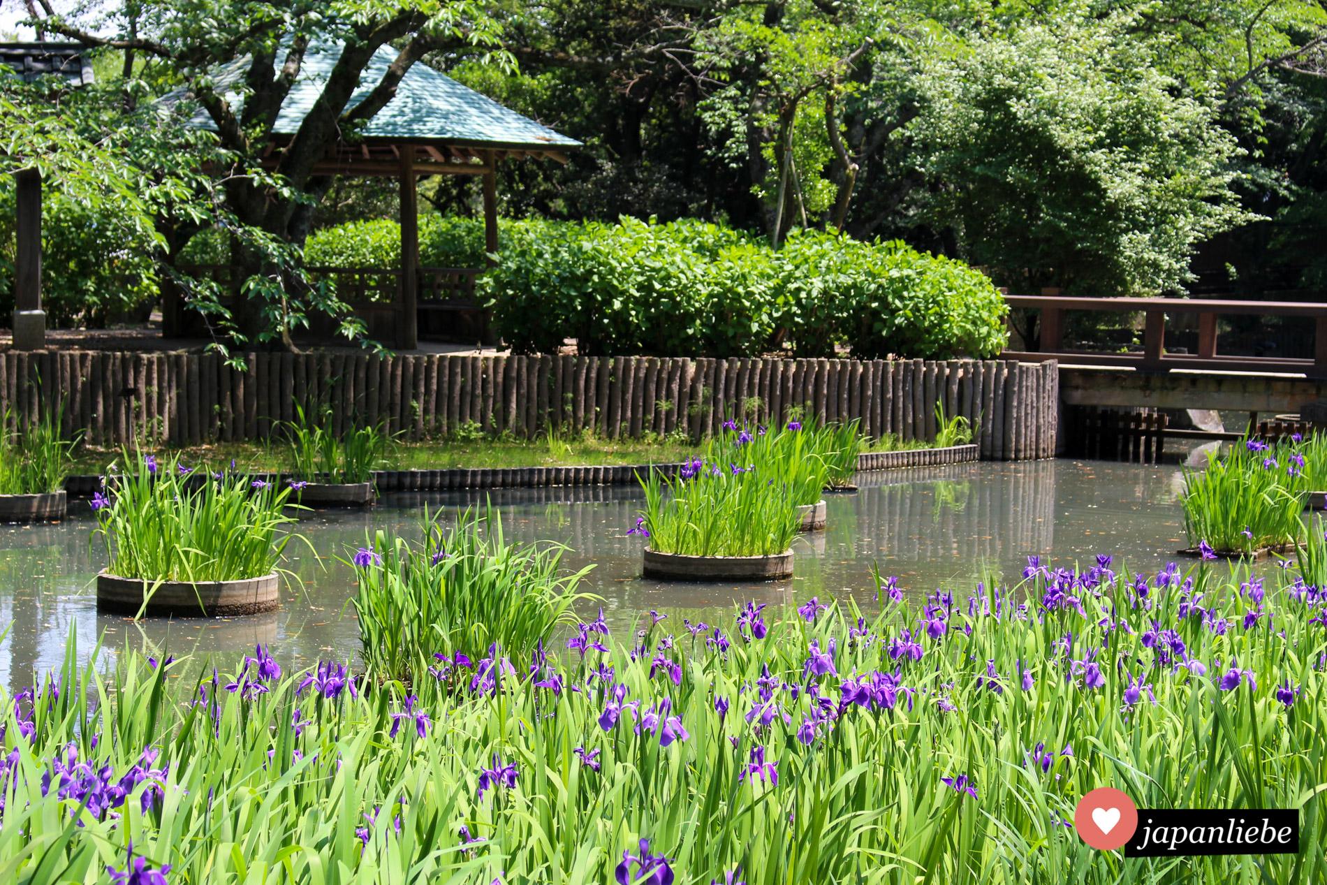 Iris steht im Mai in voller Blüte, so wie hier an einem Teich beim Izumo Taisha Schrein.