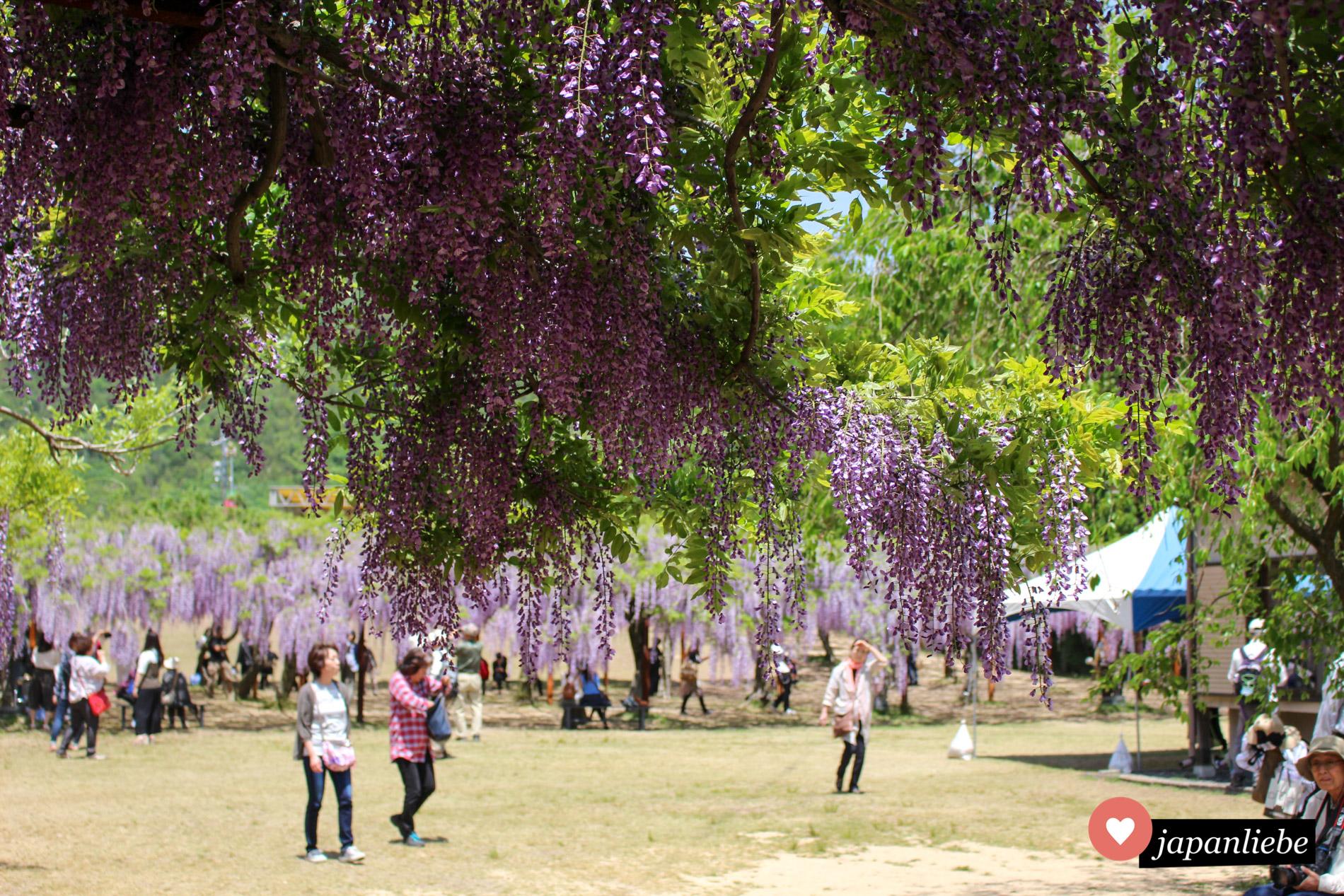 Über 100 verschiedene Glyzinienarten im Fuji Park in der Stadt Wake bei Okayama bieten im Mai ein herrliches Farbenspiel.