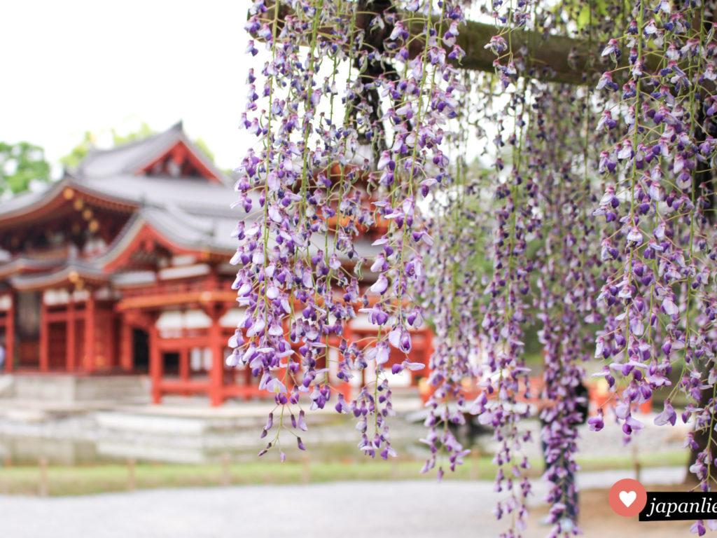 Den berühmten Byodo-in Tempel in Uji zu besuchen lohnt sich im Mai schon wegen des hübschen Blauregens.
