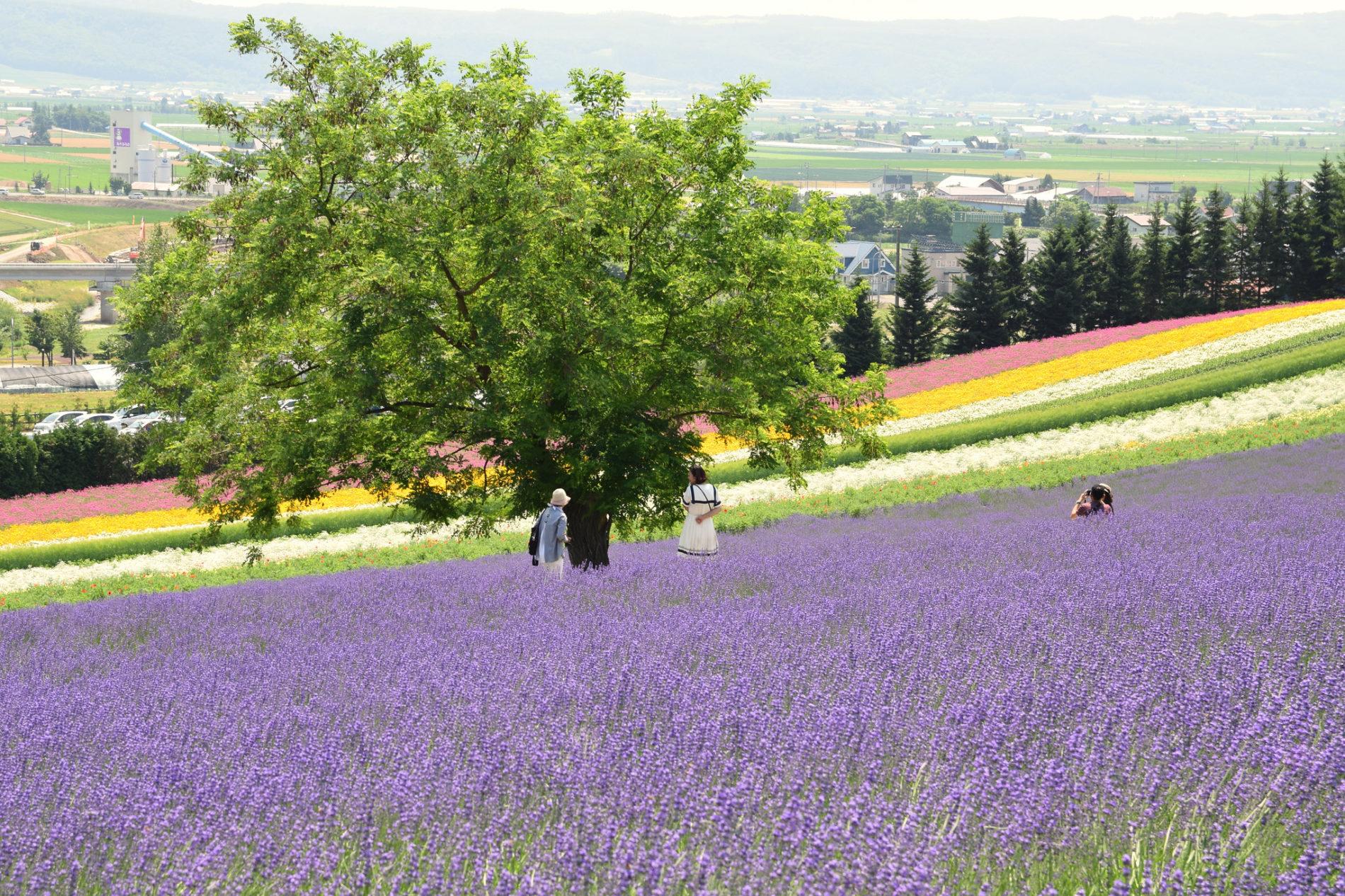 Hokkaidō ist bekannt für seine Lavendelblüte, die Ende Juni beginnt.