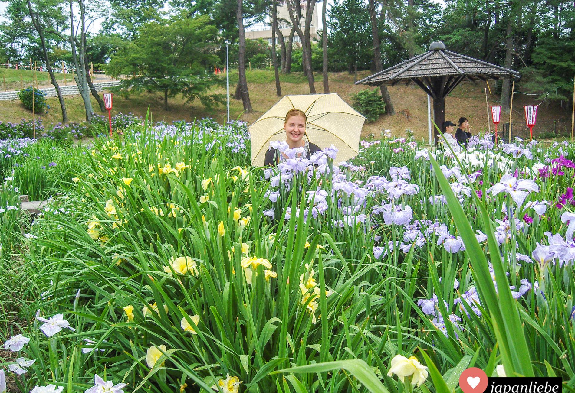 Auch in der Regenzeit kann man in Japan tolle Tage verbringen. Vor allem, wenn der Iris so schön blüht wie hier in Okazaki.