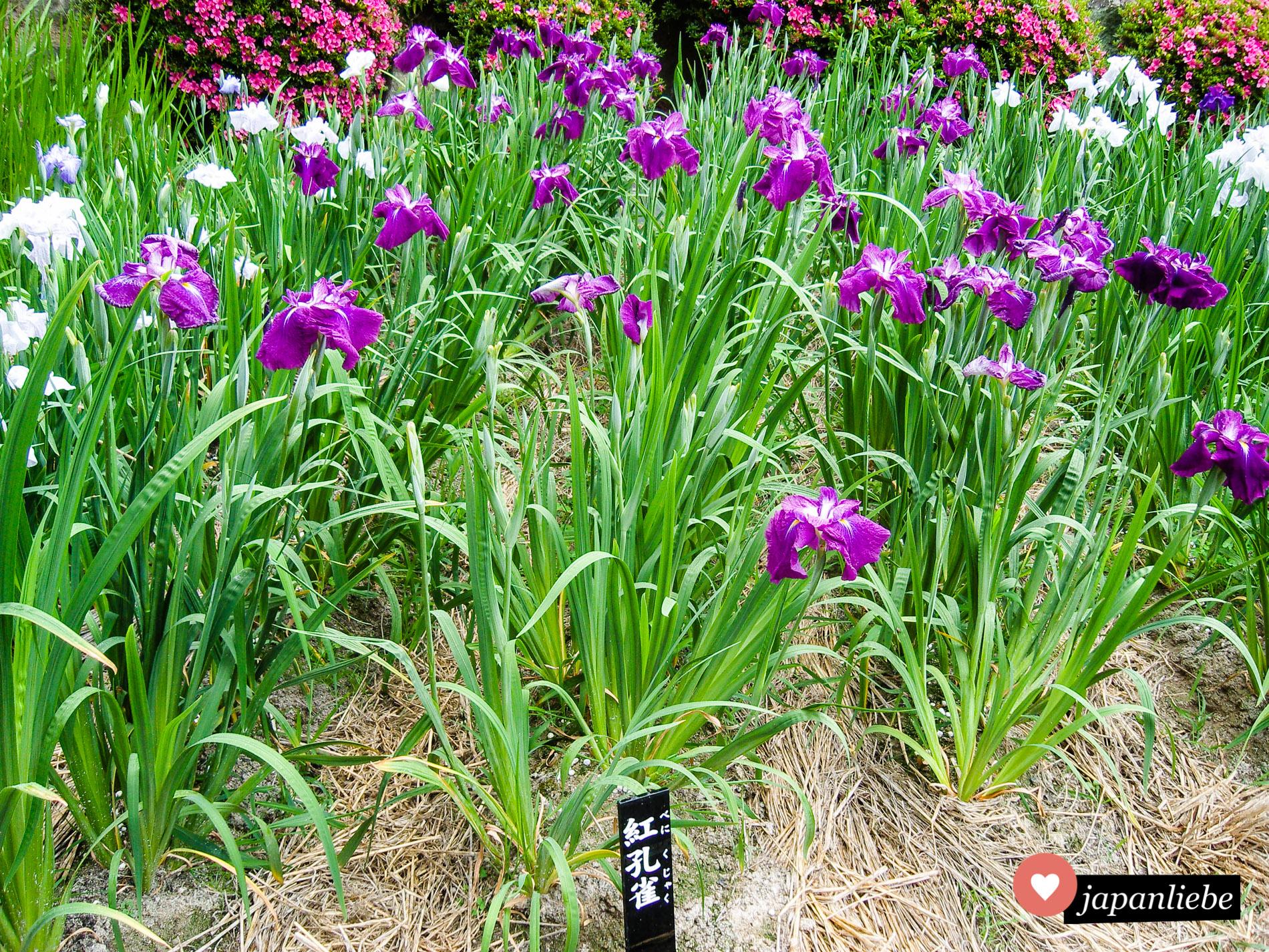 Iris blühen in Japan in diversen Weiß-, Lila- und Gelbtönen im Mai und Juni.