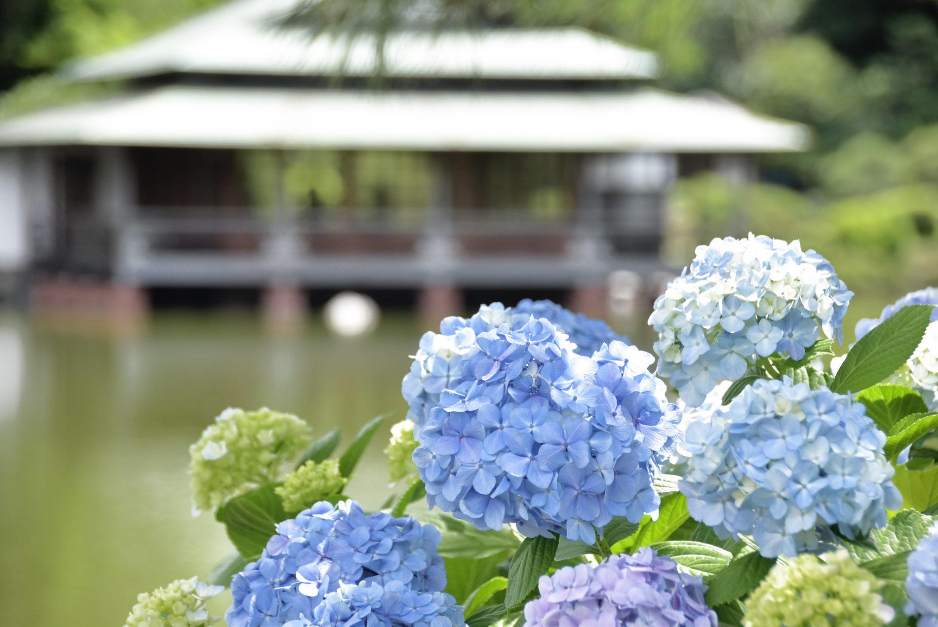 Hortensien schaut man sich in Tōkyō am besten im Kiyosumi-Garten an.