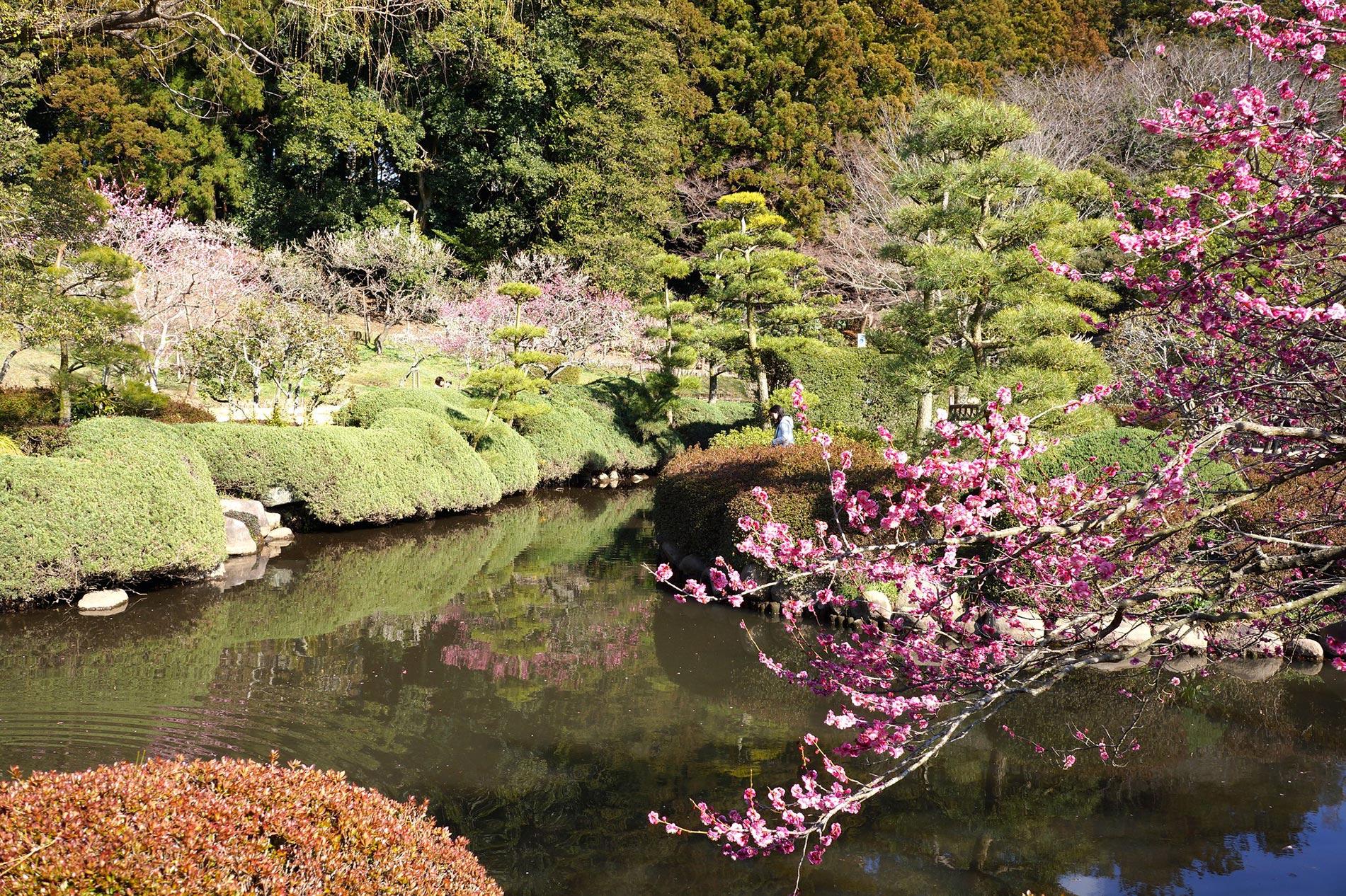 Im Kairaku-en Garten in Mito blüht immer etwas, aber besonders berühmt ist er für seine vielen, farbenfrohen Pflaumenbäume. (Foto: inucara auf flickr https://flic.kr/p/mxY5Gk CC BY 2.0)