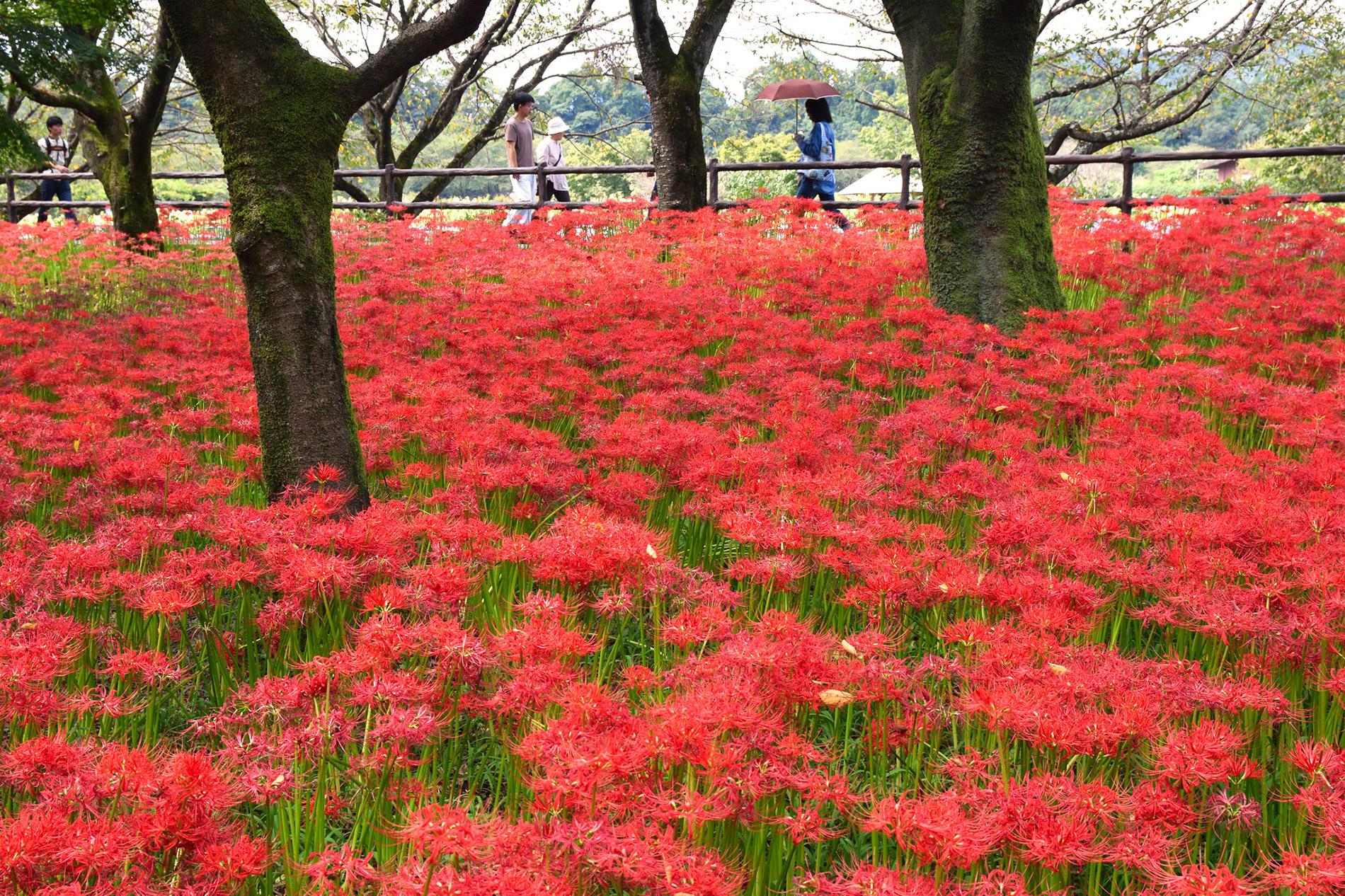 Der Herbst kündigt sich in Kinchakuda spektakulär mit unzähligen higabana Spinnenlilien an. (Foto: Raita auf flickr https://flic.kr/p/LtHcUU CC BY 2.0)