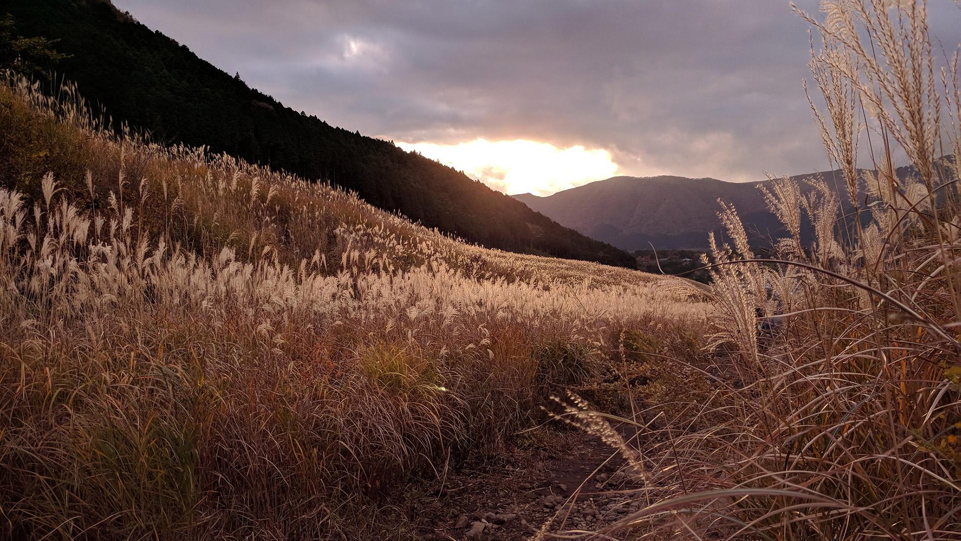 Pampasgras wiegt sich im Wind in Sengokuhara, Hakone.
