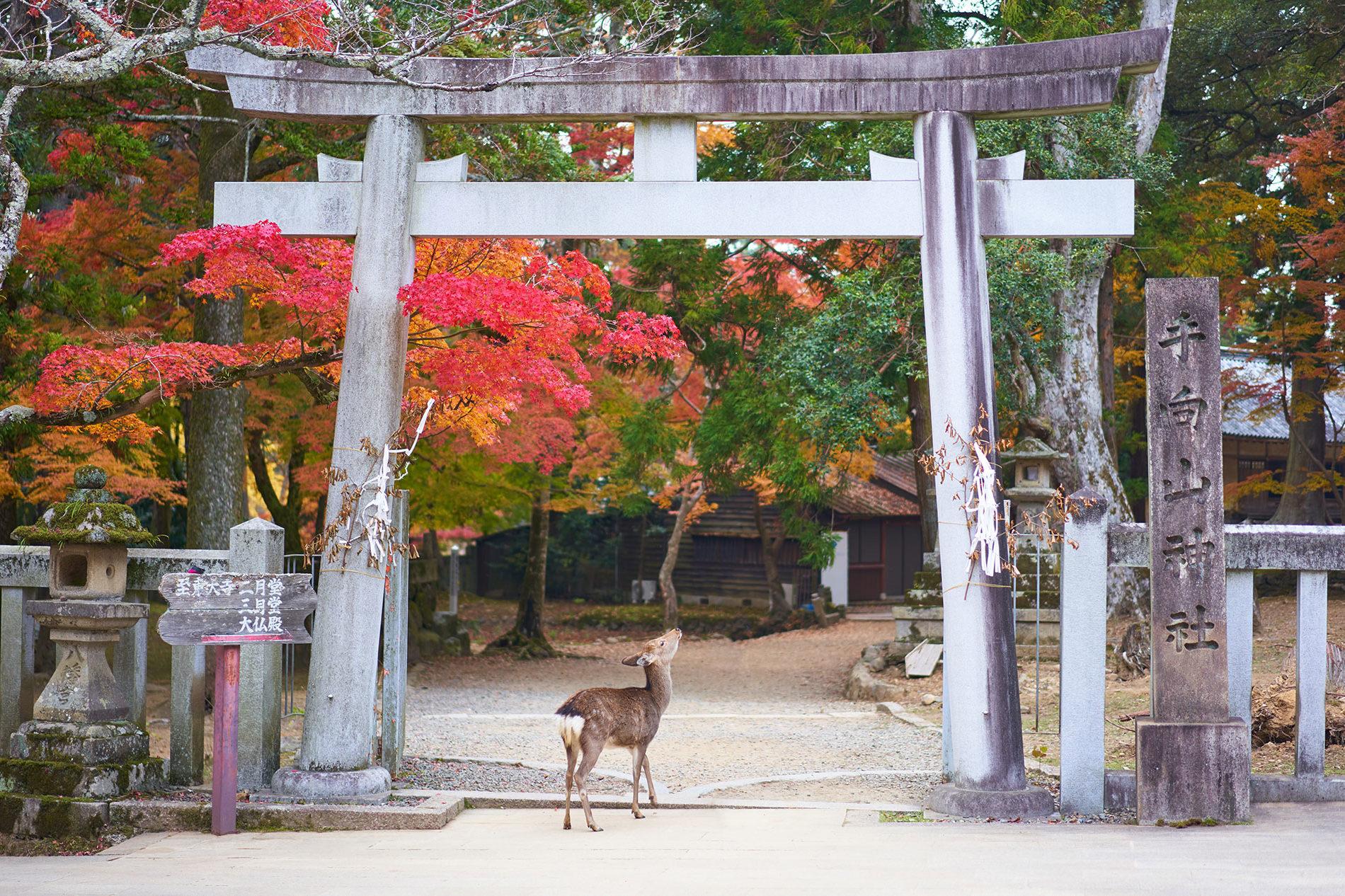 Ein Reh unter einem Schreintor in Nara. (Foto: Timo Volz auf Unsplash)
