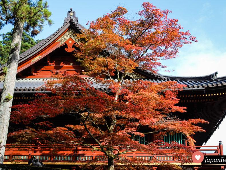 Ein rotgefärbter Ahornbaum vor dem Schatzhaus des Rinnō-ji Tempels in Nikkō.