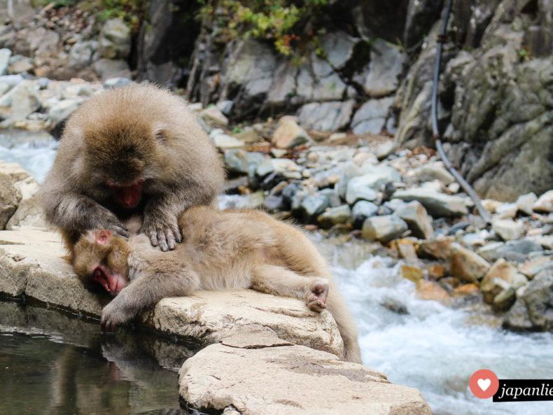 Vielleicht die berühmtesten lebenden Affen der Welt: Japans im heißen Wasser badende Schneeaffen.