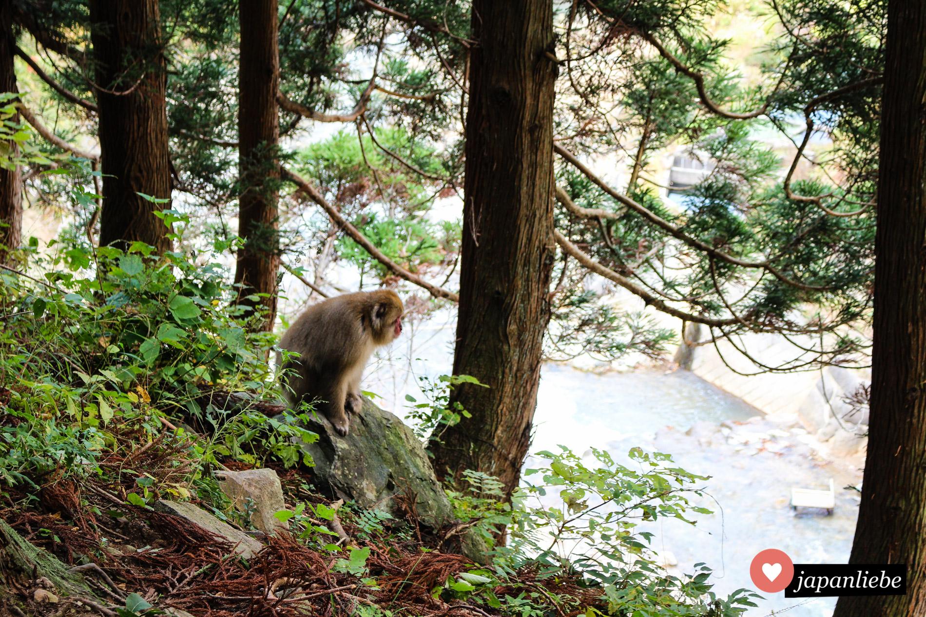 Schon vorm Eingang zum Jigokudani Snow Monkey Park kann es sein, dass man von einem Japanmakaken begrüßt wird.
