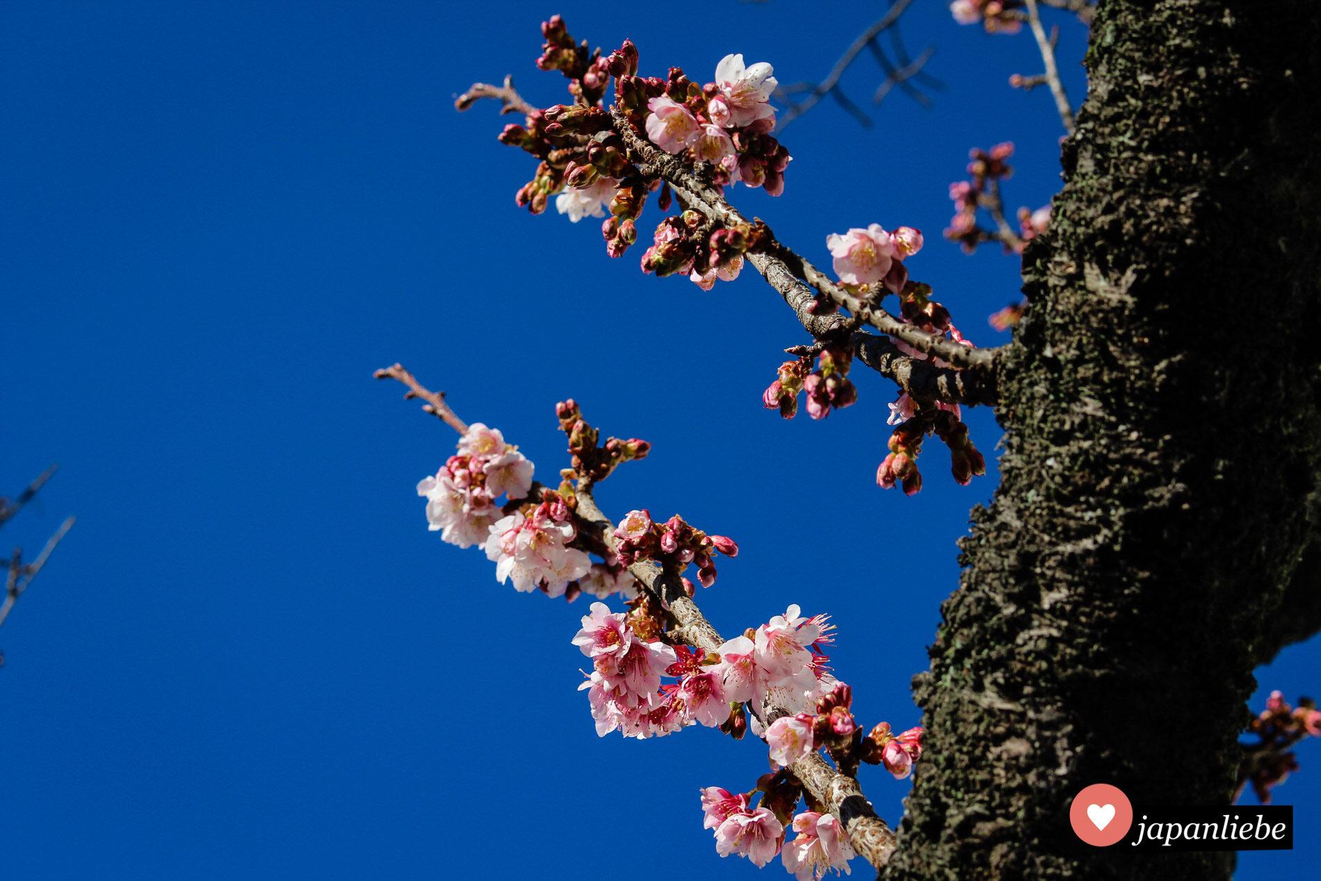 In Atami blühen die Kirschblüten bereits im Januar und Februar.