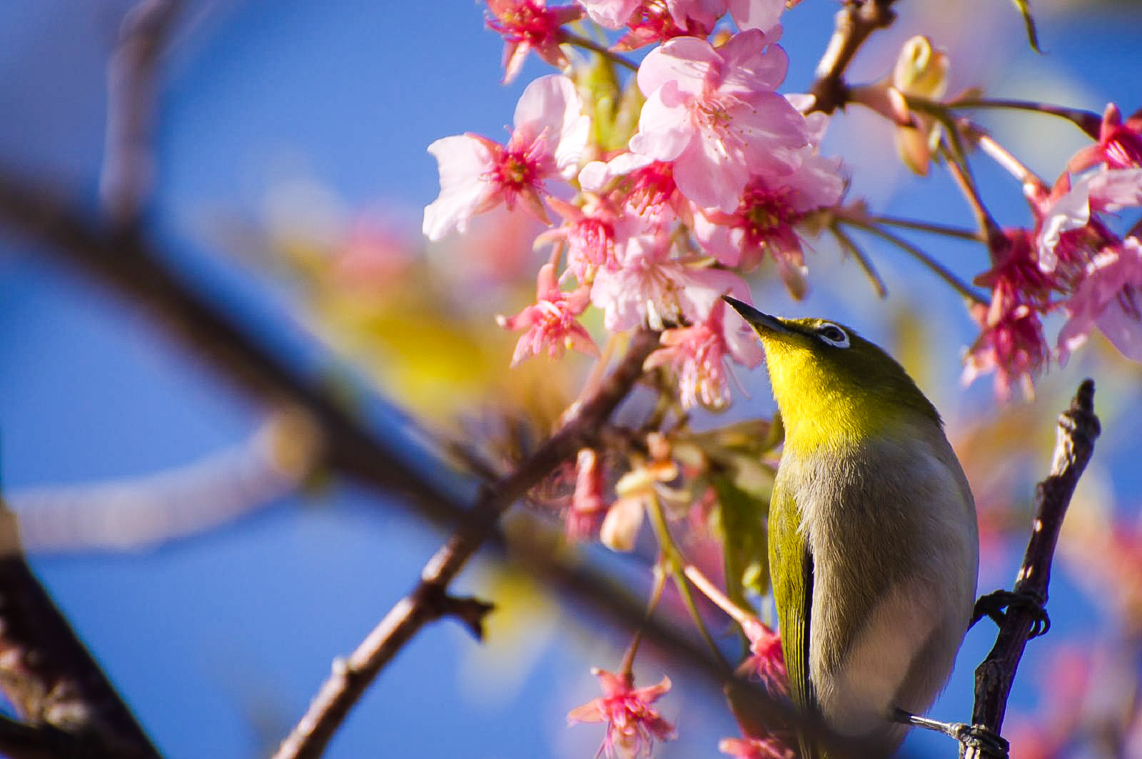 Ein Japanbrillenvogel zwischen Kirschblüten. (Foto: hoge asdf auf flickr https://flic.kr/p/62jGXv CC BY 2.0)