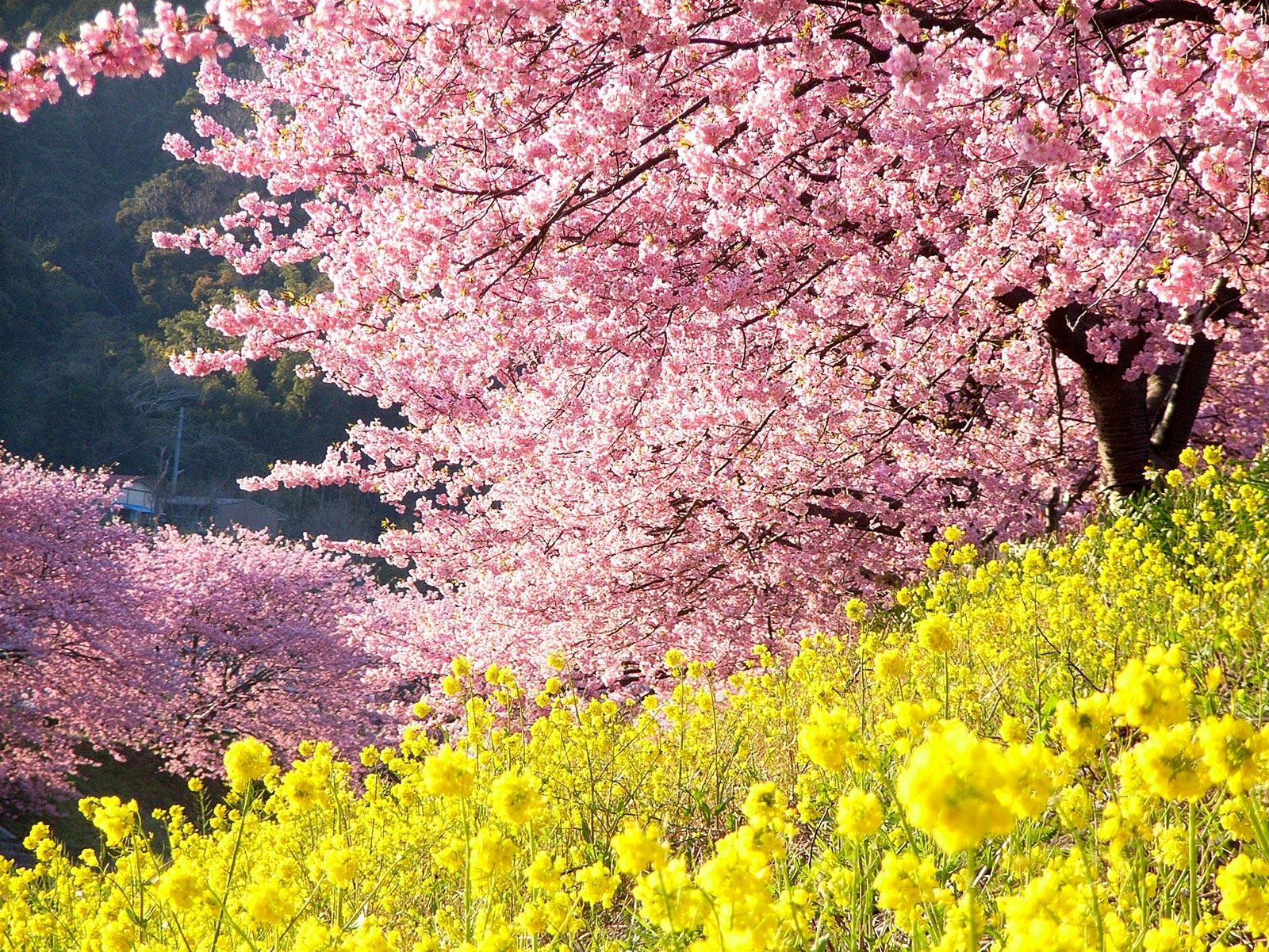 Ein wunderschöner Kontrast: rosa Kirschblüten und gelbe Rapsblüten. (Foto: Naoki Natsume auf flickr https://flic.kr/p/Trp7cf CC BY-ND 2.0)