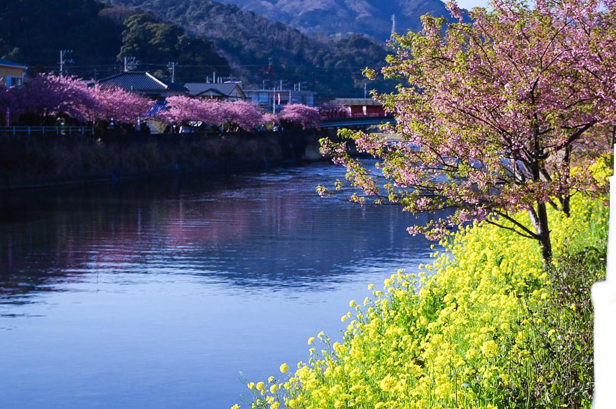 Frühblühende Kirschbäume am Kawazu Fluss blühen bereits im Februar. (Foto: hoge asdf auf flickr https://flic.kr/p/62jGVr CC BY 2.0)