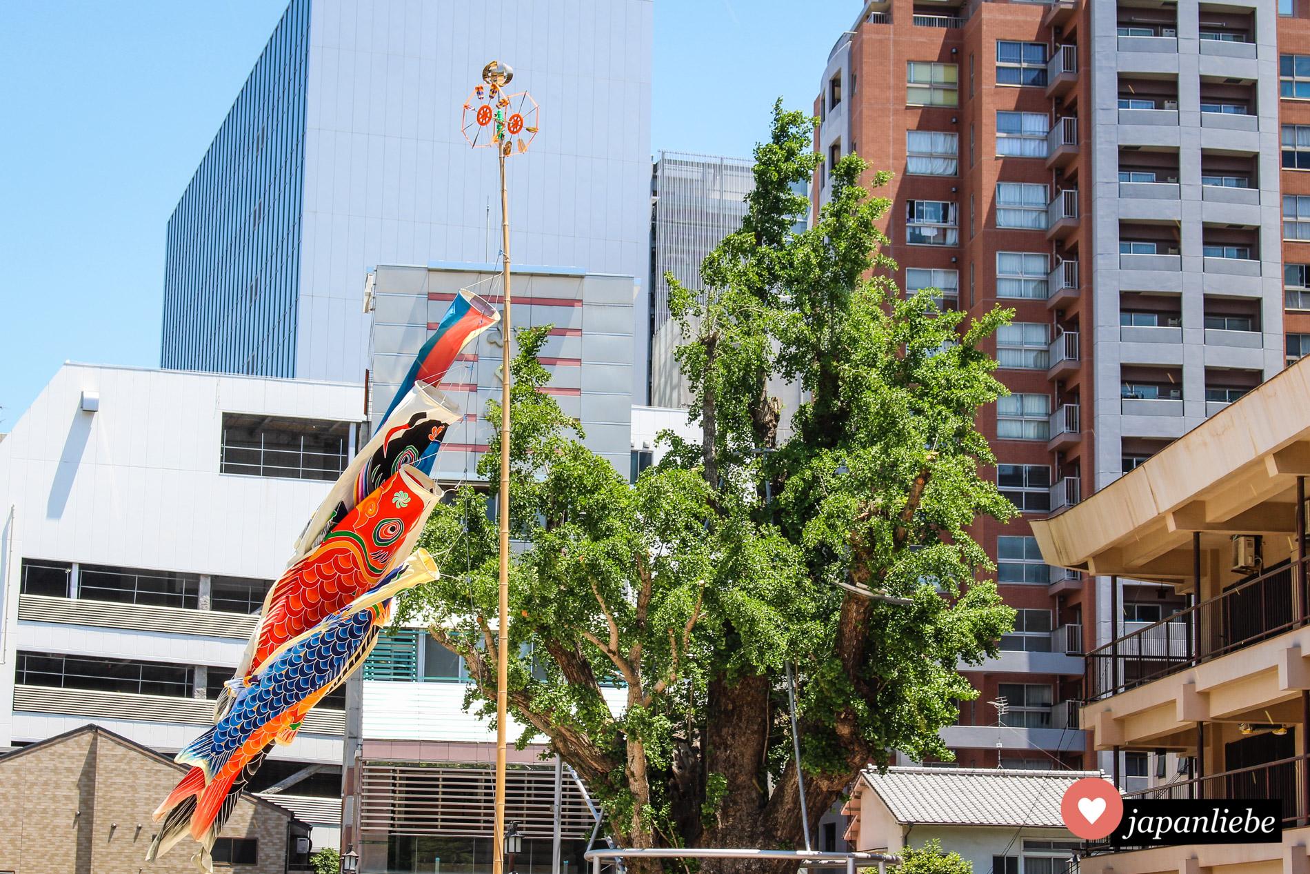 Zum Kindertag aufgehängte koinobori-Wind-Karpfen in Fukuoka.