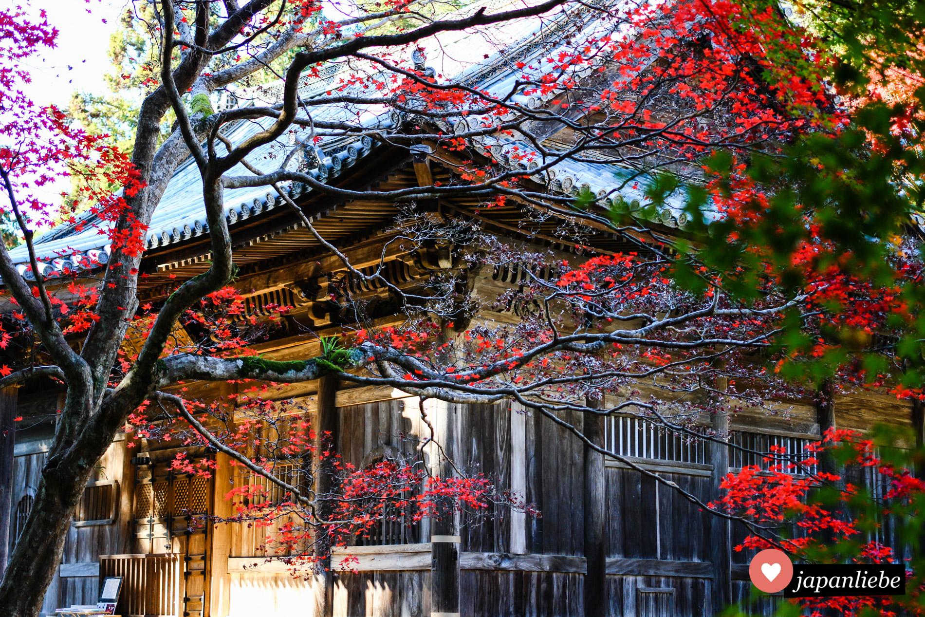 Leuchtend rotes Herbstlaub am Nyohō-ji-Tempel in Ōzu.
